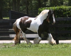 Crown Darby 2006 trot
