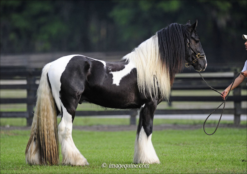 The History of the Gypsy Vanner | Gypsy Gold – America's Gypsy ...